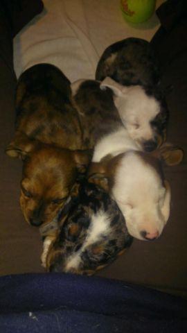 Miniature Long Hair Dachshund Puppies