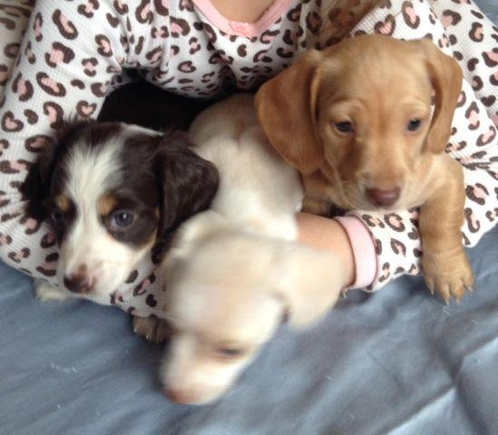Akc Mini Cream Dachshund Puppies For Sale In Suffolk Virginia