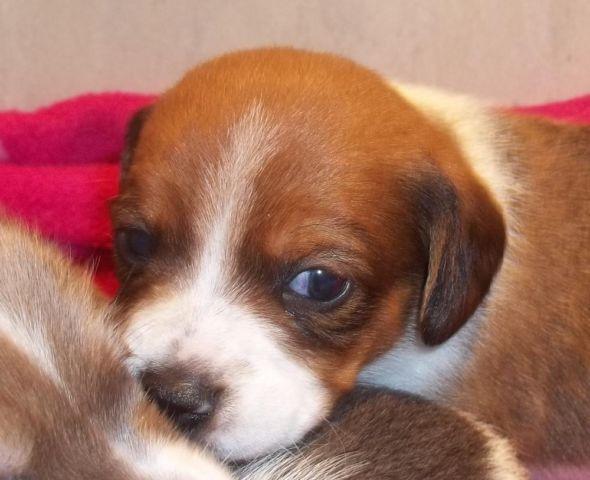 Rare Colorsmini Dachshund Puppies For Sale In Richmond Virginia