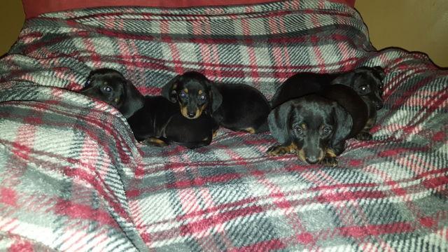 CKC Miniature Dachshund Puppies