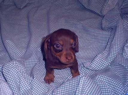 Male mini dachshund puppy