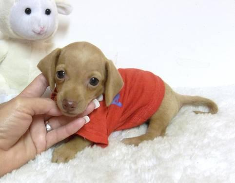 Tiny Blonde Dachshund Puppy** for Sale in Douglas, Georgia
