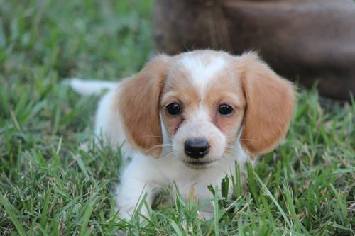 Loveable Miniature Long Haired Dachshund Puppy For Sale In