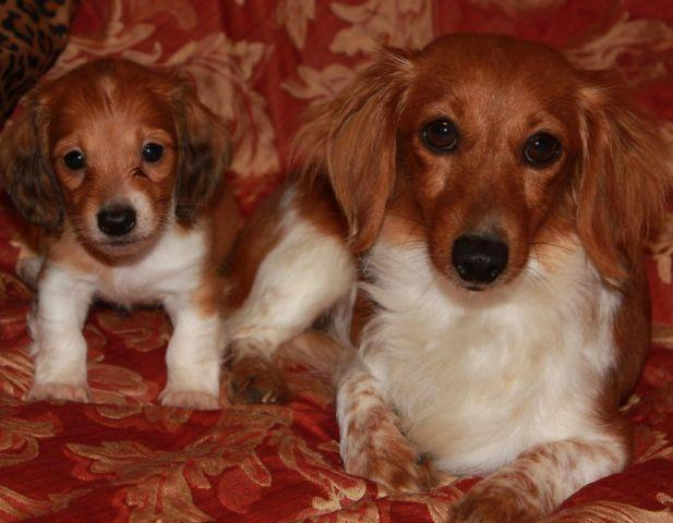 Long-Haired Mini Dachshund Puppy for Sale in Crecy, Texas Classified
