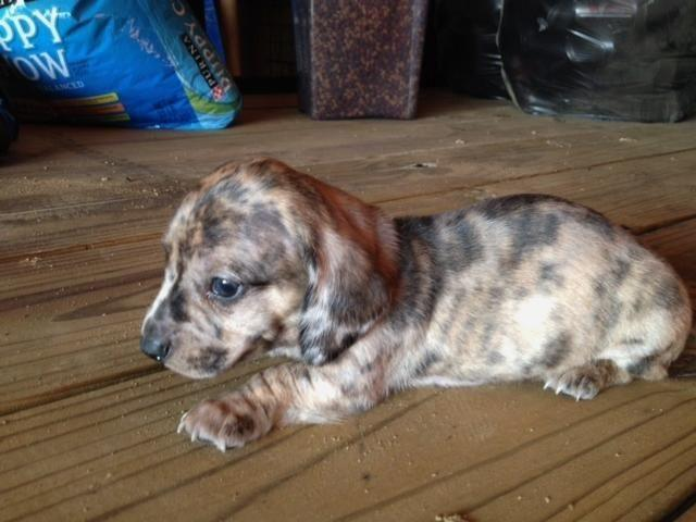 CKC MALE MINI DACHSHUND PUPPY for Sale in Bryan, Kentucky Classified
