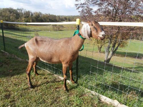 ADGA reg. Nubian Dairy Goat Does