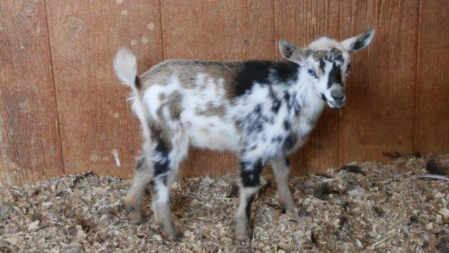Nigerian Dwarf Dairy Goats For Sale In Calcutta Ohio