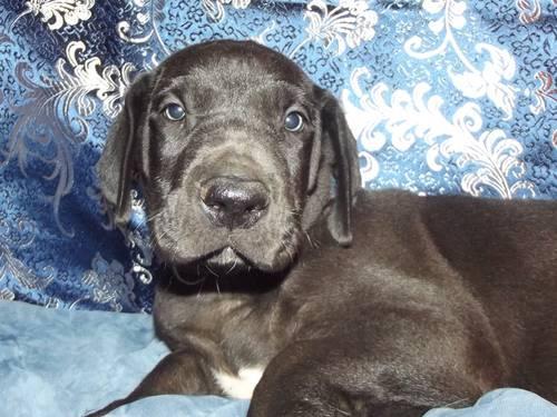 CKC male black Great Dane born 8/12/13