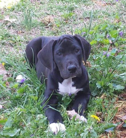 Mikayla AKC Great Dane Female