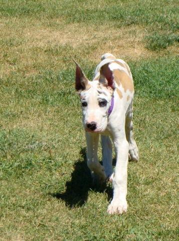 AKC Great Dane Puppy