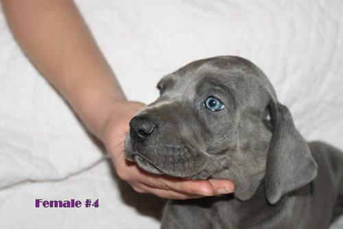 BLUE! Great Danes! DEPOSITS ONLY!