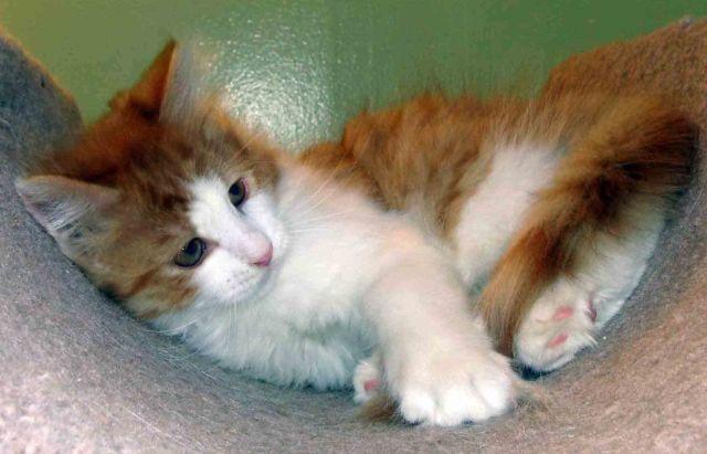 SIBERIAN kittens,Twins-MALE & FEMALE DOB 04-03-16 ,LAP CAT
