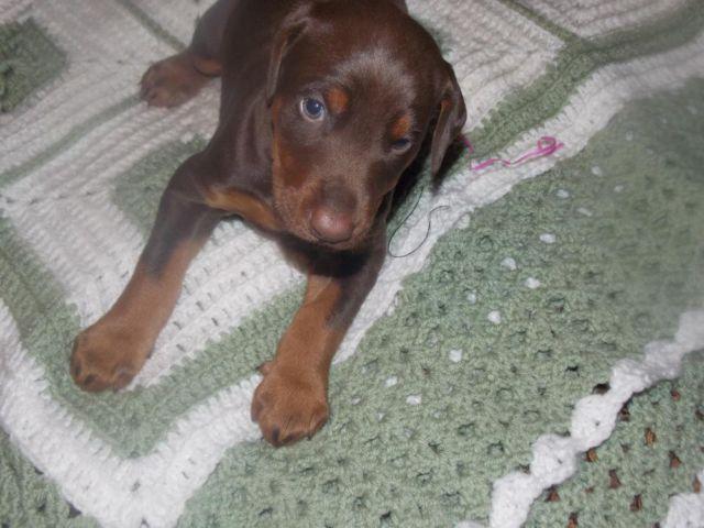 Doberman Puppies For Sale Syracuse Ny
