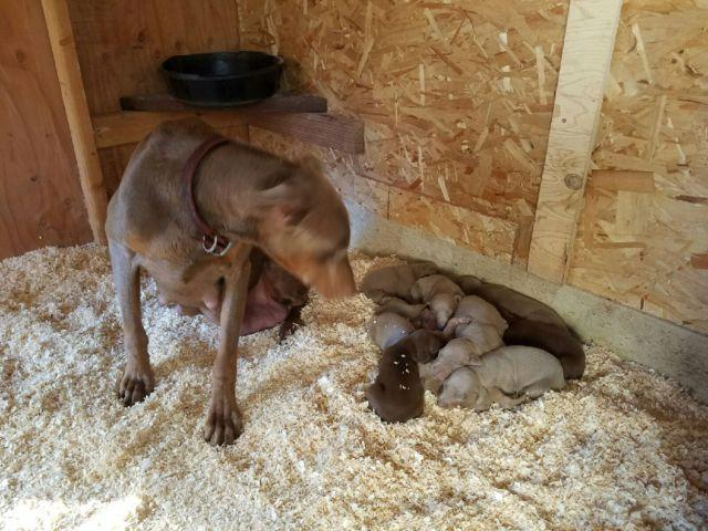 10 Big and Healthy Fawn / Red Doberman Pinschers - 2.5 weeks old