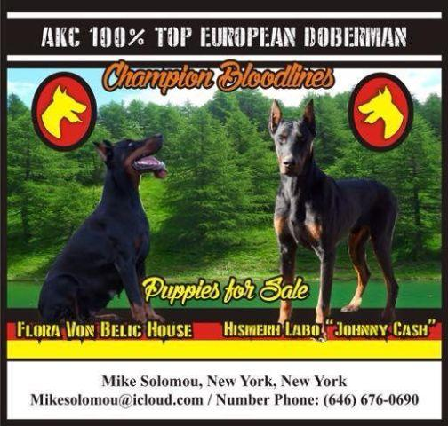 AKC 100 Top European Doberman puppies For Sale for Sale in
