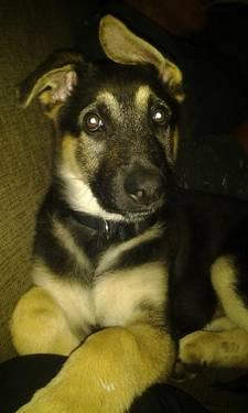 Pure bred german shephard Dog- 12 weeks old
