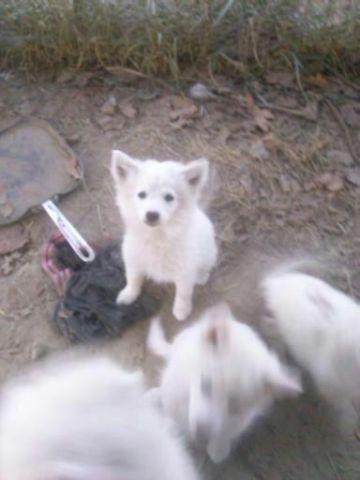 Miniature American Eskimo dog pupies