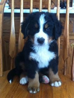 Akc Bernese Mountain Dog Puppies For Sale In Fishers