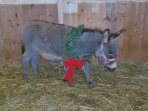 Adorable Miniature Donkey Jennet for Sale in Calcutta, Ohio