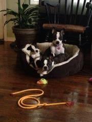 Cute CKC Dorkie Puppies