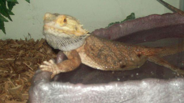 3 YEAR OLD BEARDED DRAGON FOR SALE for Sale in Grifton