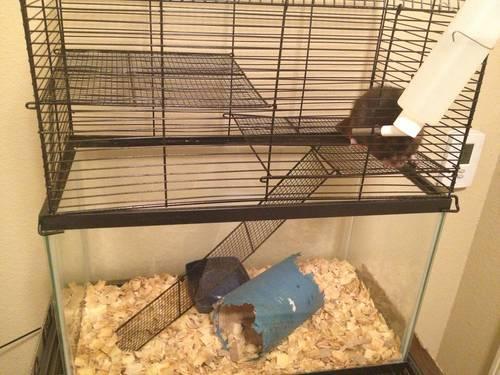 Sweet Black Dumbo Rat