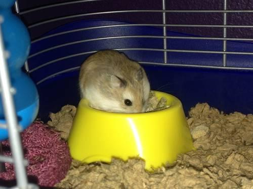 Male Robo Dwarf Hamster