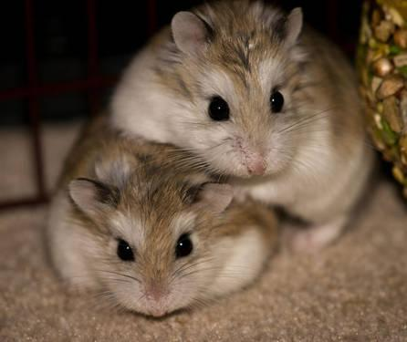 2 Female Dwarf Hamsters