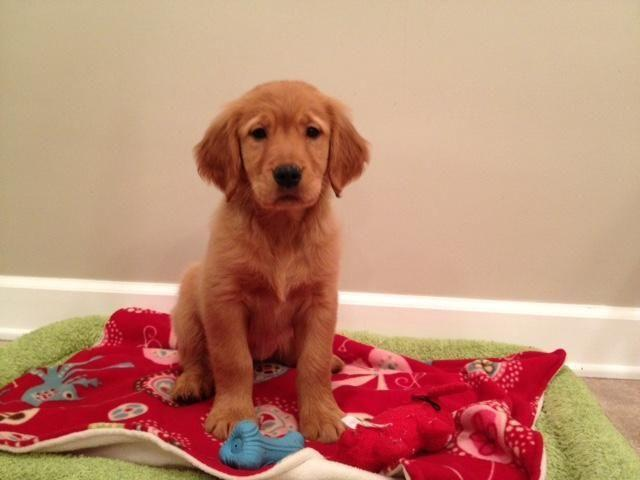 Golden Retriever Puppies (Earling, IA) for Sale in Co Bluffs