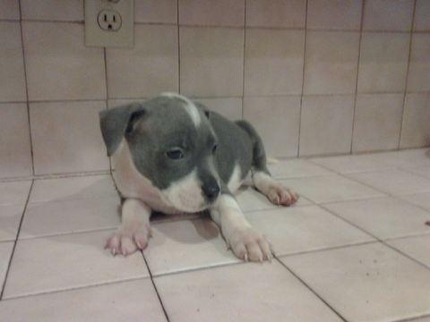 ADBA Registered Razors Edge Pitbull Puppies for Sale in