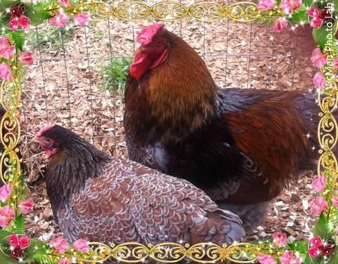 Cream Legbar (Blue eggs) chick pairs