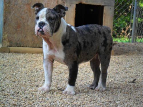 Blue Merle English Bulldog