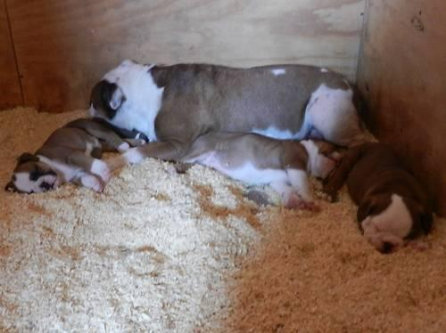 Really cute Olde English Bulldogge puppies