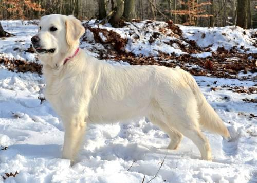 Only 4 Males Leftakc 100 English Golden Retriever Puppies For Sale