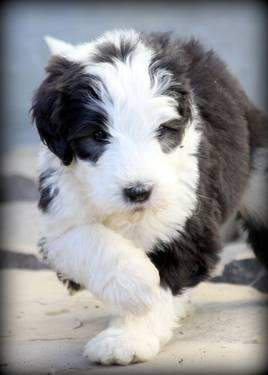 sheepadoodle puppies old english sheepdog standard poodle for sale