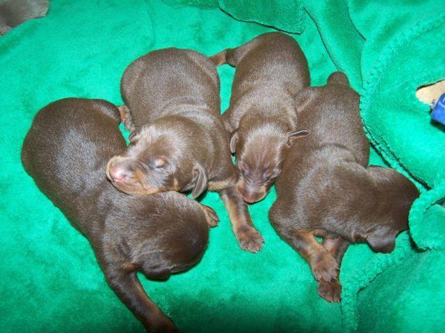 Olivet Dobermans, AKC Dobermans, European Lines, Puppies