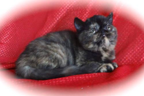 CFA Champion Sired Tortie Exotic Shorthair Kitten