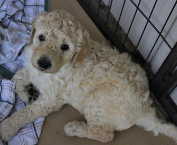 Beautiful Cream Goldendoodle F1B Puppies