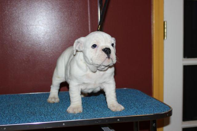 AKC English Bulldog Puppy F *READY NOW!*