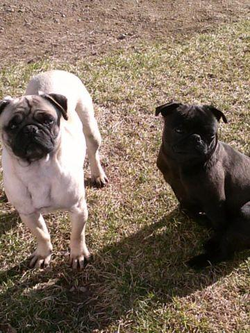 PUGS TWO YEARS OLD ONE FAWN ONE BALACK IN SEASPN