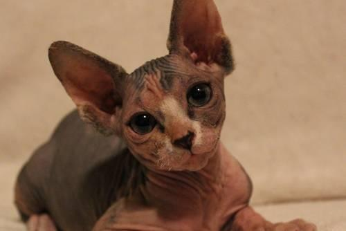 Hairless cats for sale in virginia
