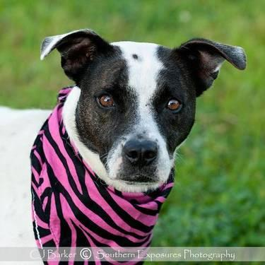Pit Bull Terrier - Moo Moo #11460 Fee Waived!!! - Medium - Adult