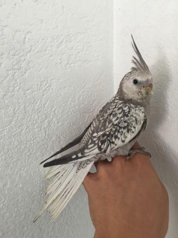 Cockatiel hand feed