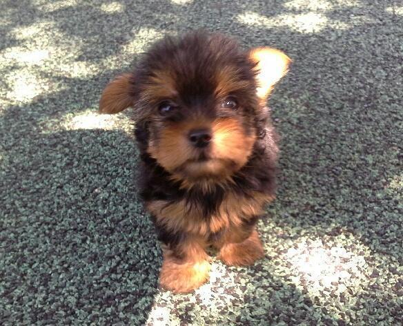 Yorkie Puppy Female 1