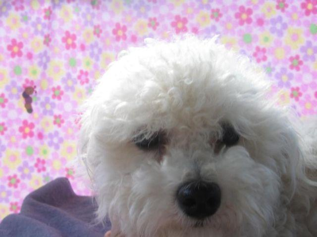 BICHON / MALTESE MIX ...FEMALE....1YR OLD...NO-SHED...all shots done