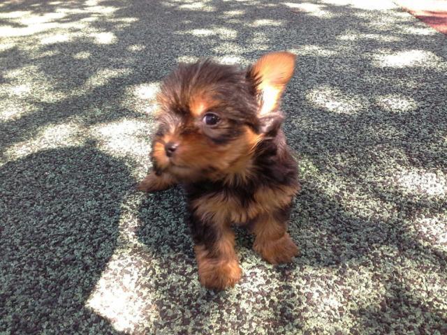Yorkie Puppy Female 2
