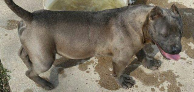 american bully adult female 2 yrs.