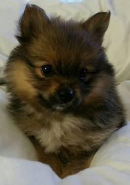 AKC pomeranian female