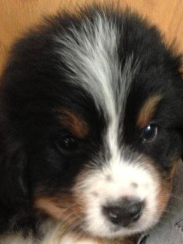 Akc Bernese Mountain Dog female available NOW!!!