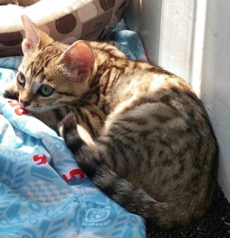 Gorgeous brown spotted female Bengal Kitten